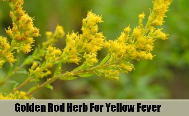 Verge d'or Herb